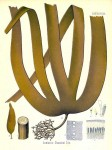 Laminaria Cloustoni Extract là gì?